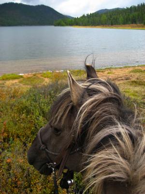 Good Boy, a beautiful colored, grulla Mongolian horse