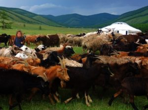 Mongolian nomadic herder's goats and sheep; home-stay, ger-stay with Mongolian herder family; Stone Horse Expeditions & Travel