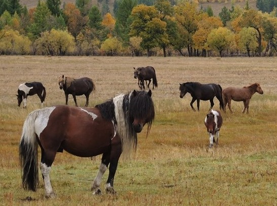 Horse Trekking Mongolia, Horse Riding in Gorkhi Terelj National Park to view Mongolian horses in autumn grazing grounds