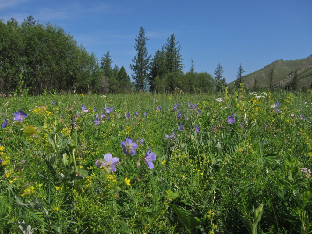 Herbs and Grassess in Mongolia, Gorkhi-Terelj NP