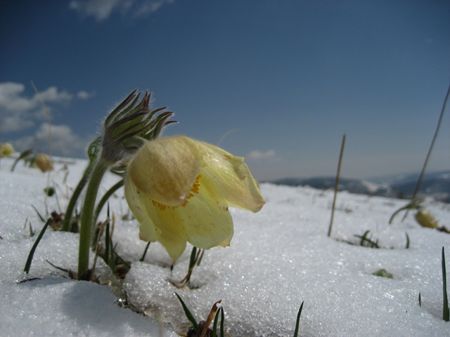 Anemony in snow, seen on a day ride with Stone Horse Expeditions, Mongolia, near Gorkhi Terelj National Park