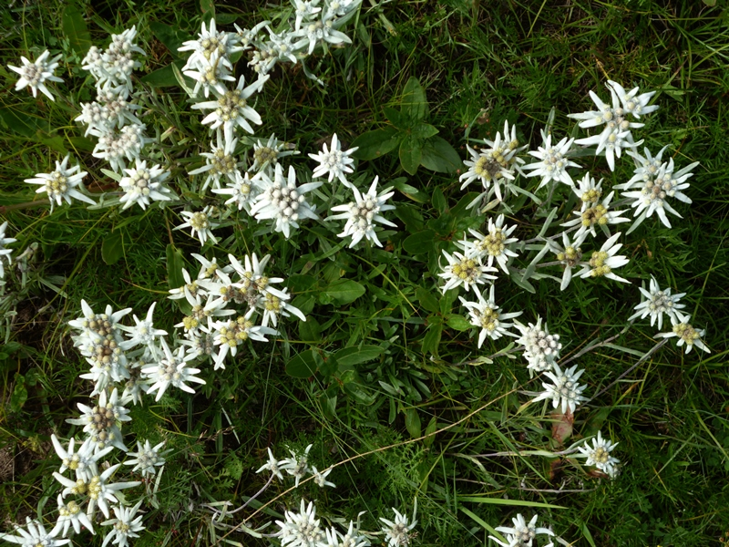 Edelweiss is one of the wildflowers that is common in Gorkhi Terelj National Park, Mongolia