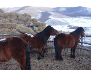 Mongolian horses, winter in Mongolia