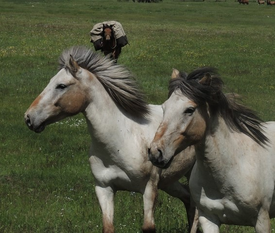 Horses for Riding Holidays in Mongolia