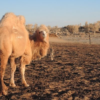 Gobi desert, camel riding, adventure travel