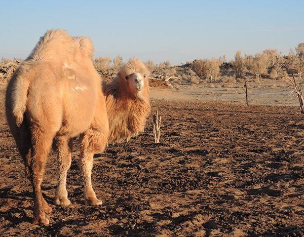 Gobi desert, camel riding, adventure travel