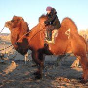 Camel Riding in Mongolia's Gobi desert