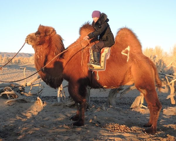 bactrian camel, Gobi desert, Mongolia, winter destination, experiential travel