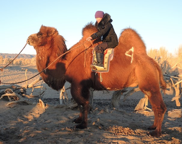 bactrian camel, Gobi desert, Mongolia, winter destination, experiential travel