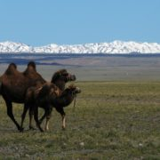 Camel mother and baby before the back drop of the Eastern Beuaty Mountains, Gobi Desert Mongolia