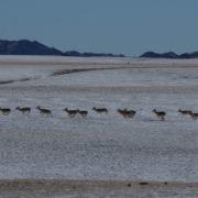 Mongolian gazelle in the winter landscape of the Gobi desert, Mongolia
