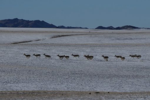 Mongolian gazelle, Gobi desert, winter travel destination