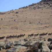 Herd of Red Deer at Hustai Nuruu National Park