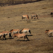 Herd of Takhi at Hustai Nuruu National Park, Mongolia
