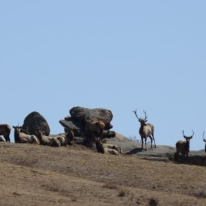 Red Deer at Hustai Nuruu National Park