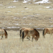 Takhi – Mongolian Wild Horses