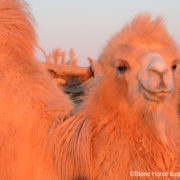 Bactrian Camel. Gobi Desert. Mongolia. Stone Horse Expeditions
