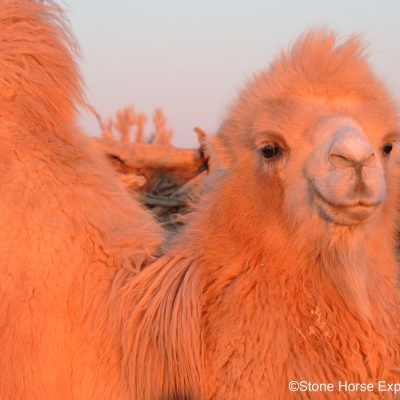Bactrian Camel in the Gobi Desert, Mongolia