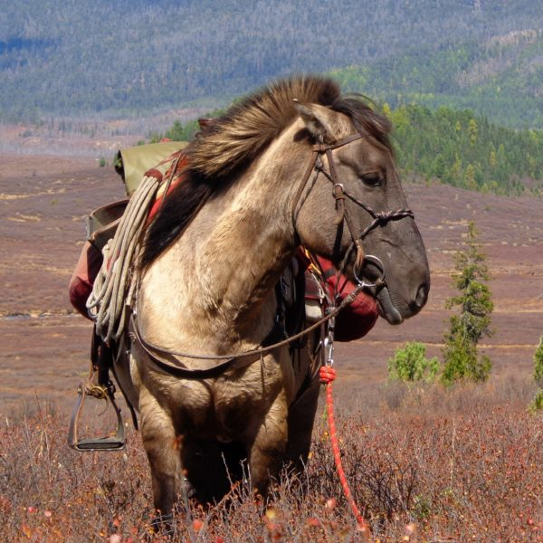 Mongolian horses for riding holidays