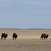 Bactrian Camels in the Gobi Desert, Mongolia