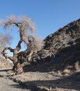 Desert elm tree. Gobi, Mongolia