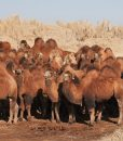A livestock herders camels in saxaul forest in Mongolia's Gobi