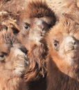 Curious young camels, Mongolian Gobi
