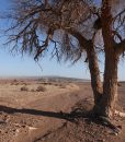 Elm Trees in Gobi Desert