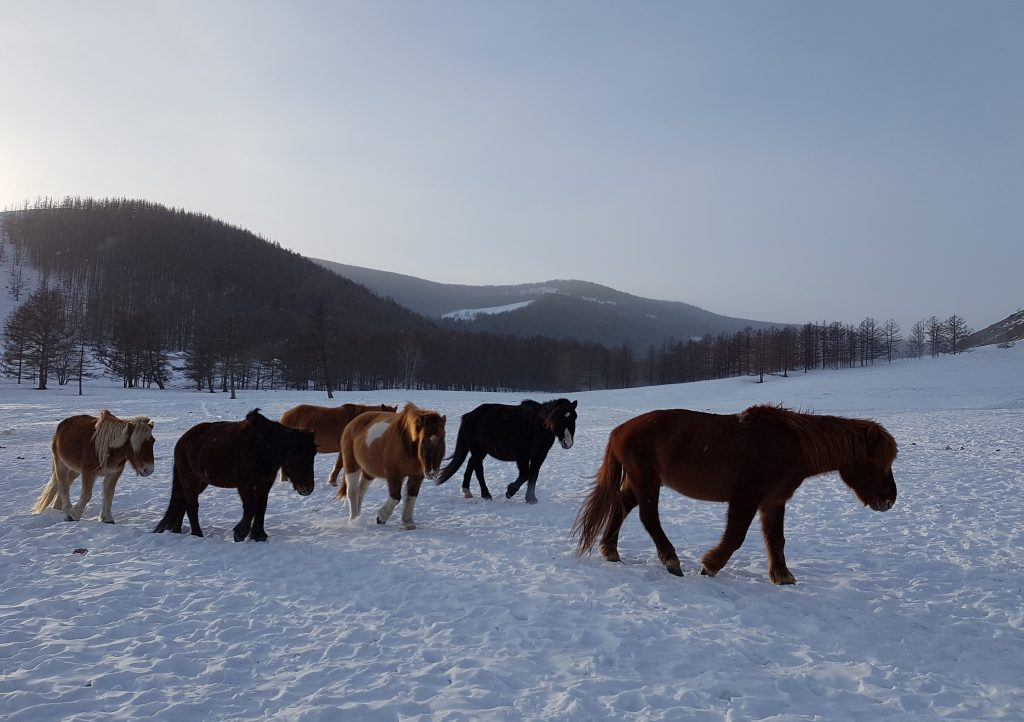 horse care in Mongolia. Winter routine of the Stone Horse Herd, returning to the corral for the night