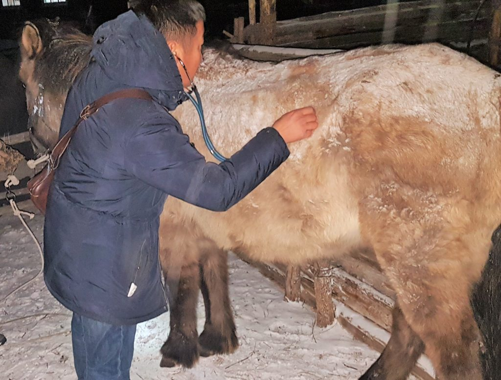 horse care in Mongolia, a vet during a night time visit, checking a horse, listening to belly sounds with stethoscope