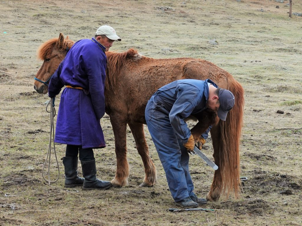 horse care in Mongolia. The vet is filing the hoof after clipping it. Horseman of Stone Horse Expeditions is holding the horse