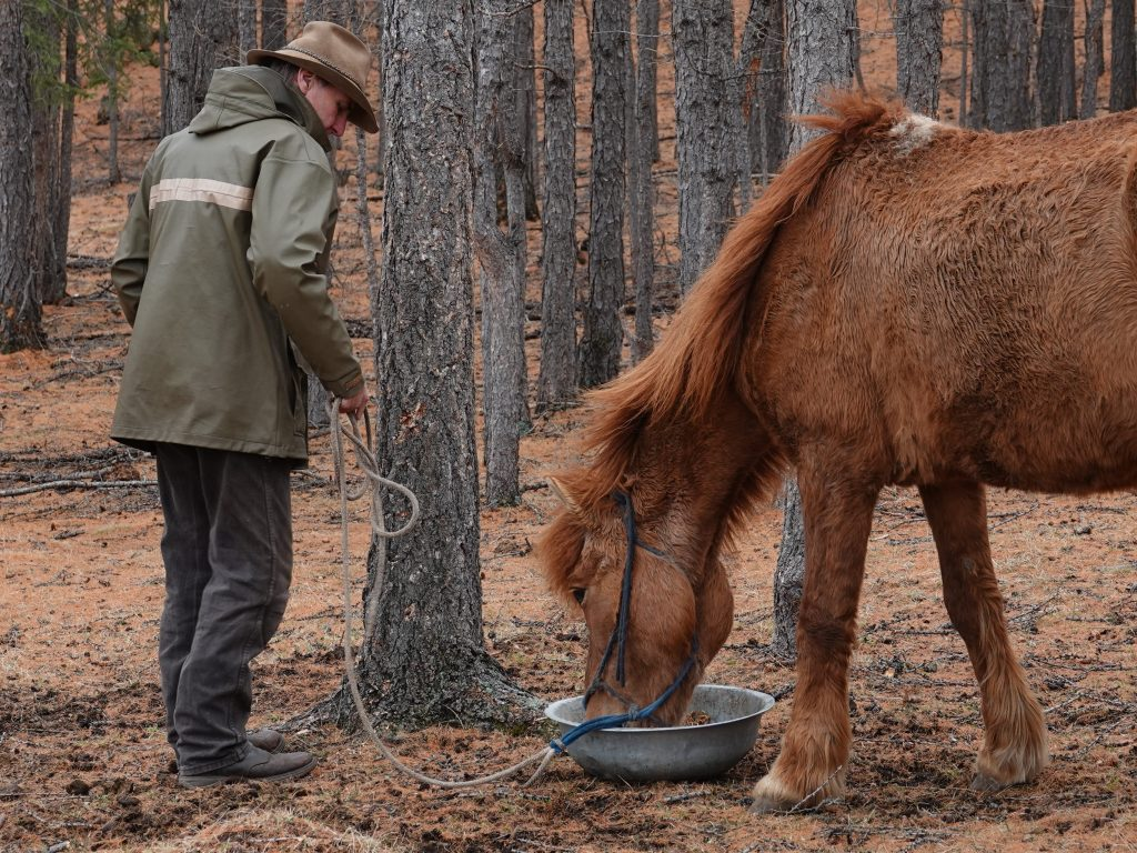 horse care in Mongolia. Last step of the annual check of the herd members of Stone Horse Expeditions. De-wormer, administered with a bowl of oats and bran.