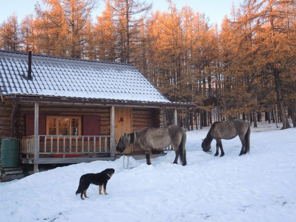horse care in Mongolia. Winter feeding of oats and bran, with vitamins. Stone Horse Expeditions
