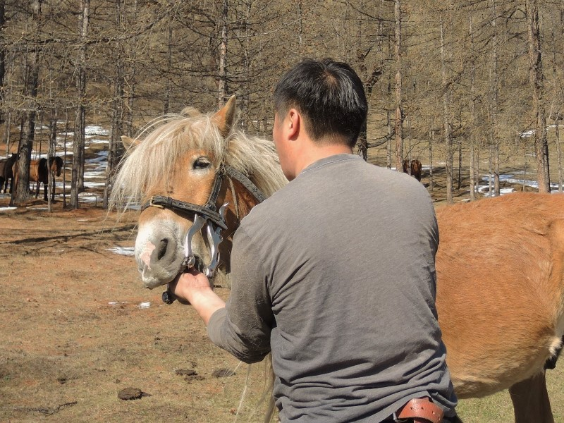 horse care in Mongolia. The veterinarian checks the horse's teeth, to see if they are worn down, whether the horse is able to feed well
