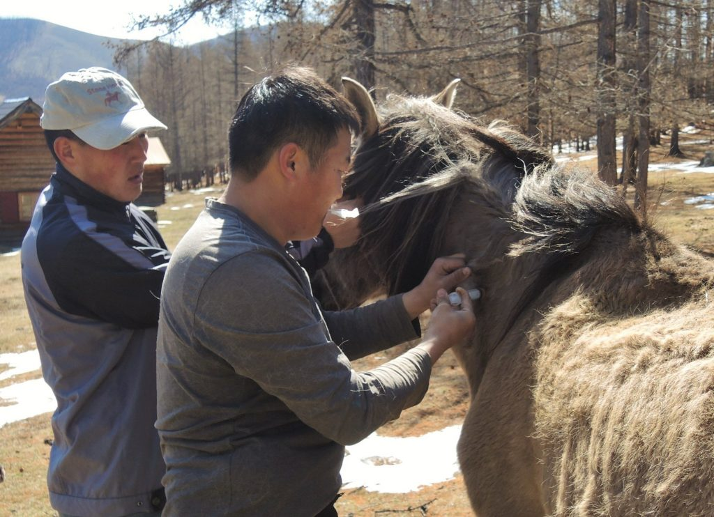 horse care in Mongolia. annual check for the Stone Horse Herd. veterinarian administering a vitamin shot