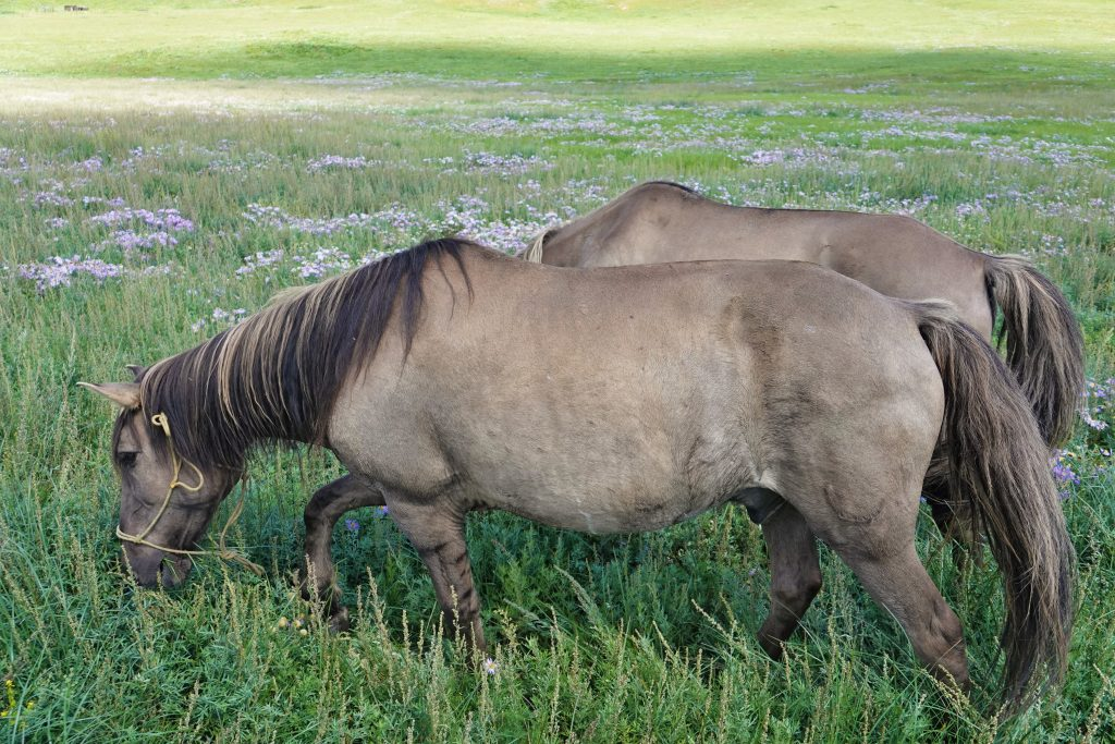 Mongolian horses, trekking horses, roaming free