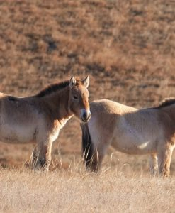 Hustai National Park - Home of the Takhi Wild Horses