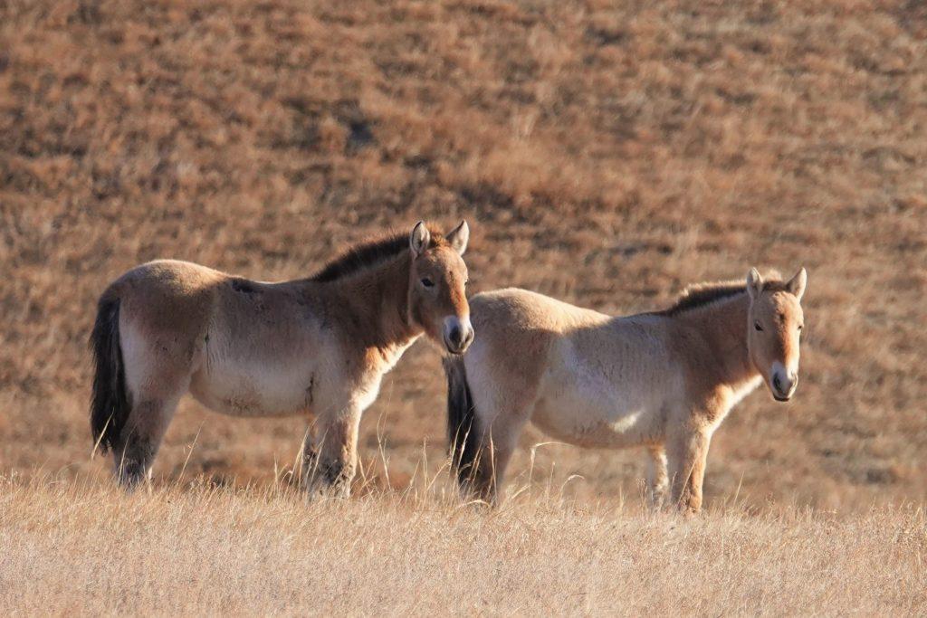 Mongolian horses, Takhi, Przewalski Horse, Wild Horse Mongolia, Hustai Nuruu National Park