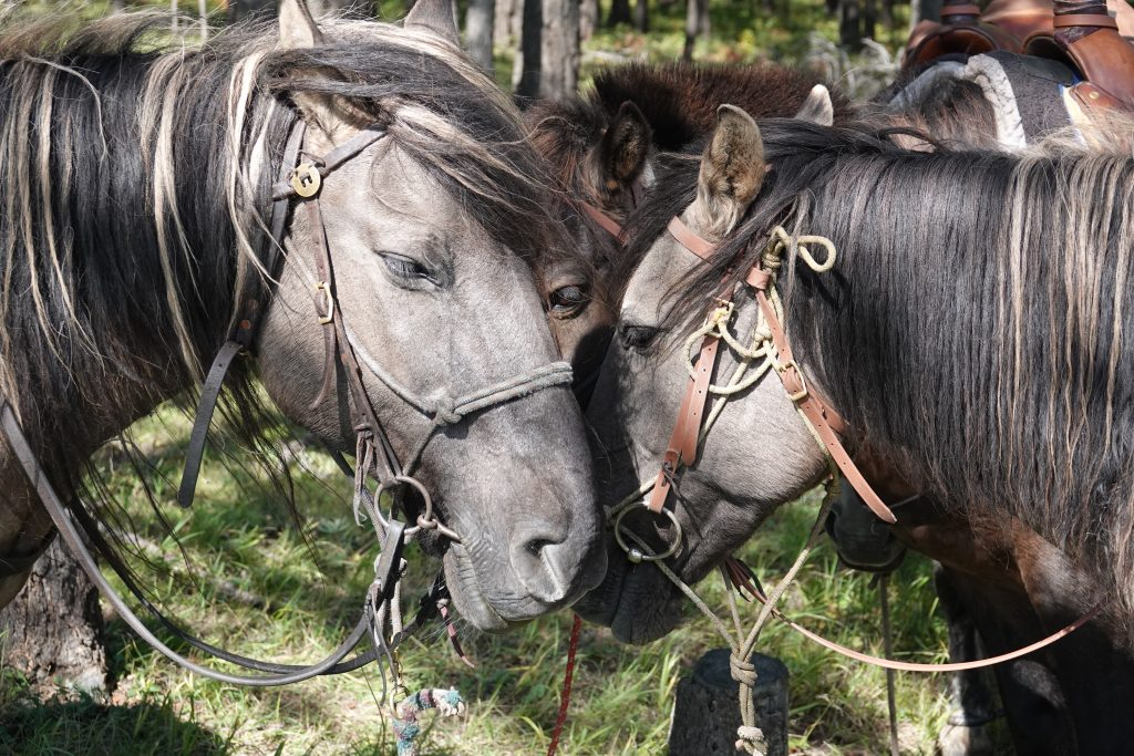 Mongolian horses, trail horses for Stone Horse Expeditions, our two grey horses