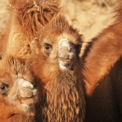Gobi crossing, camel babies