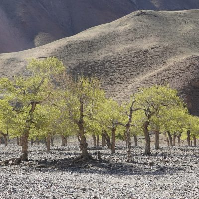 Gobi Crossing, Desert elm trees, ephemeral rivers