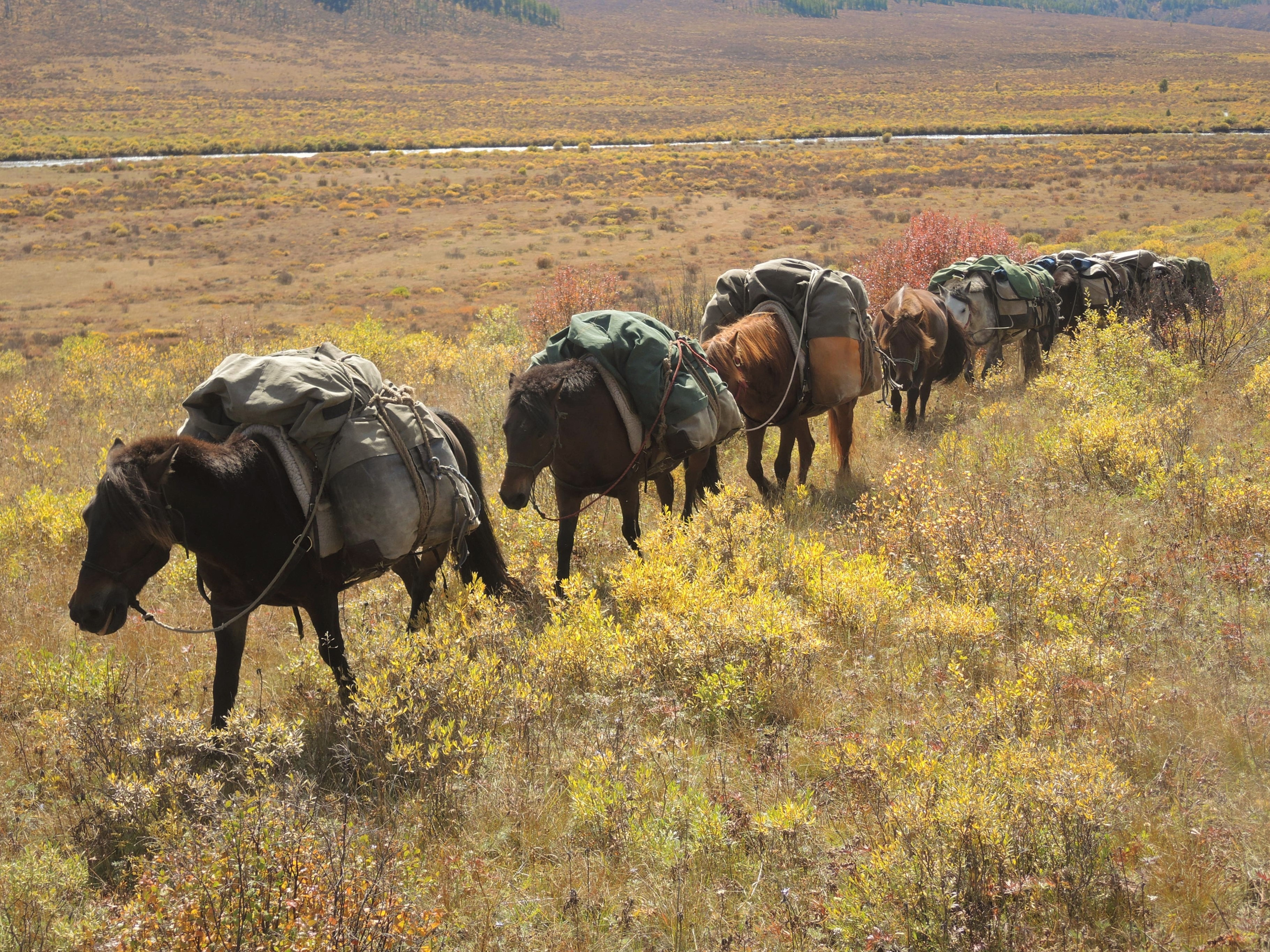 Mongolian horses, pack horses carry all our equipment and provisions on treks in Mongolia